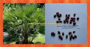 palmier du chili graines de chamaerops humilis ou faux palmier doum