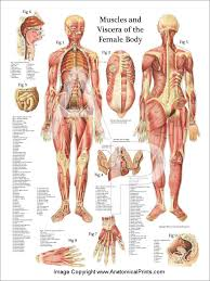 Female Abdominal Anatomy Pictures Pic Of Female Human Anatomy Periodic Tables