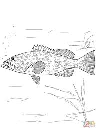grouper coloring page free printable coloring pages