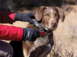 australian shepherd off leash quick draw dog leash u2013 transforms a collar into a leash instantly