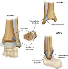 Posterior Inferior Tibiofibular Ligament Injuries Of The Ankle Musculoskeletal Key