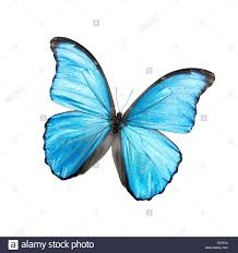 blue butterfly isolated on a white background stock photo