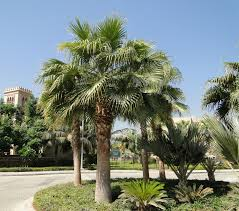 mexican fan palm growth rate washingtonia robusta mexican fan palm buy online green souq