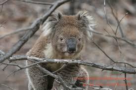 koalas walk ground koala clancy