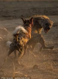 safari ltd african wild dog african wild dogs attack hyena that had been stalking them in search