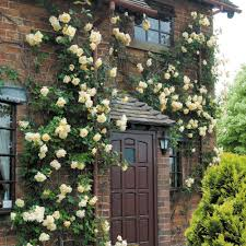 Fragrant Climbing Plant - lady hillingdon most fragrant climbing roses fragrant