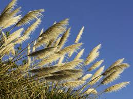 sunlight l for plants pampas grass cortaderia selloana southern living