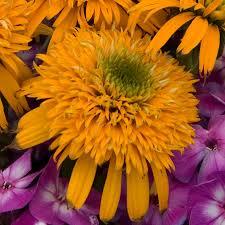 echinacea coneflower plants for sale fragrant u0026 drougt proof