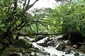 living bridges facts for kids wild life u0026 nature kinooze