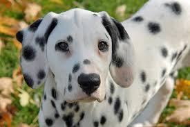 vixen dalmatian puppies daily puppy