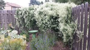 co horts shazam plants that shine in fall