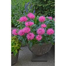 Flower Balm - proven winners pardon my pink bee balm monarda live plant pink