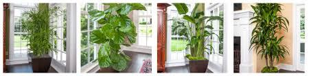 Beautiful Indoor Plants Attention Grabbing Indoor Plants Large Plants For Big Spaces Plantz
