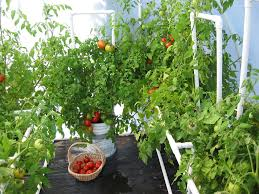 growing tomatoes anytime in the greenhouse