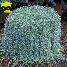 online shop rare hanging dichondra micrantha seeds 100 seeds pack