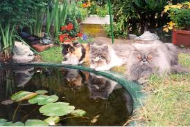 contact bluzee persians breeders of persian cats in essex
