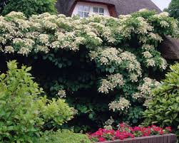 hydrangea petiolaris is a climbing vine plant native to asia