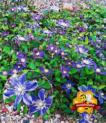 Haus Und Garten Ideen Bodendecker Clematis U0027arabella U0027 Bodendecker Pinterest Gärten