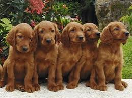 irish setter male dog names male dog names male dog names a to z listing