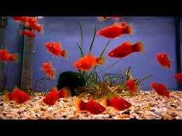 mickey mouse platy sweet knowle aquatics