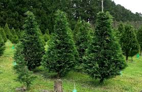 leyland cypress classic christmas trees