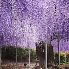 file wisteria ashikaga flower park tochigi japan 1 may 2016