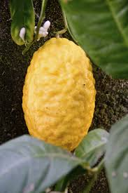 etrog for sale etrog fruit information what is an etrog and care of citron