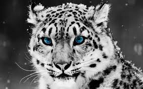 blue white tiger wallpapers for free about 788