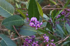 australian native plants with purple flowers 6 plants for children to enjoy good living