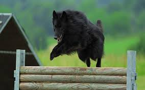 belgian sheepdog laekenois groenandael belgian shepherd puppies breed information u0026 puppies