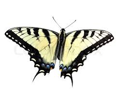 eastern tiger swallowtail butterfly on white stock photo colourbox