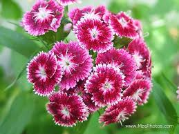 sweet william flowers sweet william photo