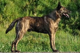 belgian shepherd dog club of canada dutch shepherd dog breed information american kennel club