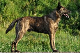 belgian shepherd nova scotia dutch shepherd dog breed information american kennel club