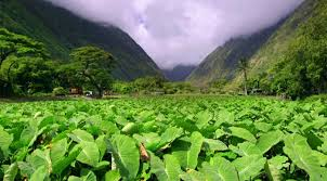 hawaiian plants 5 medicinal hawaiian plants