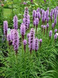 looking for some good tall spiky flowers full sun perennials