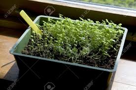 indoor growing little plants after sowing seeds stock photo
