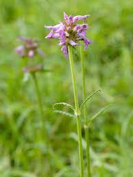 native border plants native wildflower plug plants mix that suit clay soils meadow mania