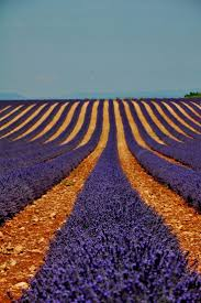 30 best lavender fields in provence france images on pinterest
