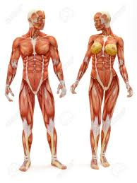 Google Human Anatomy 255 Best Draw Human Anatomy Body Proportions Images On Pinterest