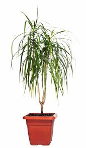 Dracaena Marginata Red Marginated Dracaena Pet Poison Helpline