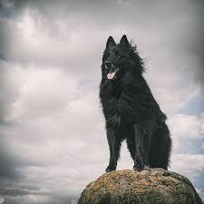 belgian sheepdog calendar ways of seeing wolf shadow photography fine art animal photography