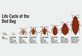 Can Bed Bugs Survive Outside How To Identify Bed Bugs Bed Bug Riddance