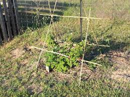 Rasberry Trellis 2 B U0027s Home Grown Or Homemade Homemade Bamboo Trellis For My Raspberry