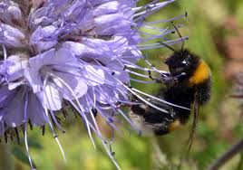 a flower you shouldn t cheerios bee friendly wildflower why you shouldn t plant the seeds