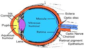 What Structure Of The Eye Focuses Light On The Retina Anthonyt Describe The Anatomy And Function Of The Human Eye