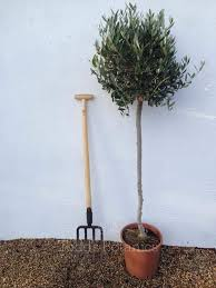 olive trees large olive tree 5 ft 3 4 standard