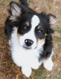 australian shepherd and border collie mix 771 best border collies images on pinterest animals aussies and