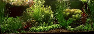 Aquascape Aquarium Plants Greater Washington Aquatic Plant Association