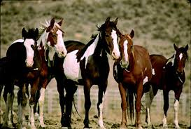 mustang adoption adopt a mustang or burro care tractor supply co